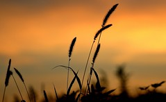 Evening weeds (mpalmer934) Tags: weeds sunset macro autumn fall field