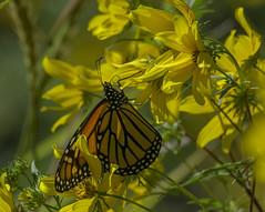 MonarchButterfly_SAF4267-1 (sara97) Tags: danausplexippus butterfly endangered insect milkweedbutterfly missouri monarch monarchbutterfly nature outdoors photobysaraannefinke pollinator saintlouis towergrovepark