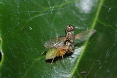 Arachtober 22 - The Mighty Hunter (Procrustes2007) Tags: nigmawalckenaeri leafspider green littlegreenfurry meshwebspider spider arachnid arachtober nikond50 nikkor50mmais tamron2xteleconverter vivitarextensionrings68mmtotal flash greatcornard suffolk uk britain england macro