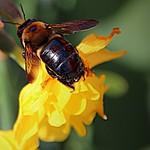 Toronto Ontario ~ Canada ~ Edwards Gardens ~ Botanical Garden ~ Bubble Bee thumbnail