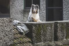 Doggie. (Gerardo Nava Fotografía) Tags: doggie dog puppy puppie sony sonyalpha sonyméxico sonyflickraward sonyalphamexico sonyzeiss sonya57 sal135f18z sonnart18135za sonnart18135 zeiss zeisslens portrait retrato bokeh méxico 135mm