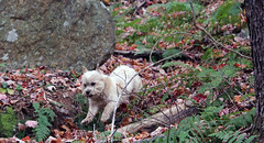 Jeter - 10/23/17 (myvreni) Tags: vermont autumn fall foliage nature outdoors animals dogs cairnterriers pets