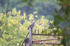 Heron with the head of a fish (mak_9000) Tags: heron beach mangrove perch fence 150600mm f563 contemporary 150600mmf563dgoshsm|contemporary telephoto 600mm