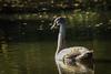 Turning gold (Ronald Dubbeldam) Tags: swans zwanen waterbirds watervogels