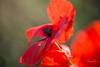 Coquelicots dans le vent (Vinciane Art) Tags: flowers fleurs colors couleurs red rouge coquelicots poppies macrodreams macro