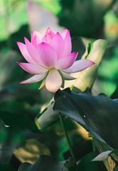 """lotus 2 • <a style=""""font-size:0.8em;"""" href=""""http://www.flickr.com/photos/129579084@N06/37694962111/"""" target=""""_blank"""">View on Flickr</a>"""
