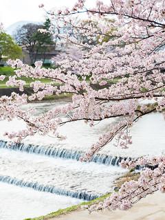 賀茂川の春 / Kamo-gawa River in Spring