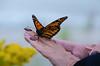 """Madame Butterfly"" (Photography by Sharon Farrell) Tags: monarch monarchbutterfly monarchbutterflymigration butterfly butterflylady madamebutterfly winterhibernation annualbutterflymigration holgate holgatenj holgatenewjersey lbi longbeachisland longbeachislandnj longbeachislandnewjersey jersey jerseyshore newjersey"