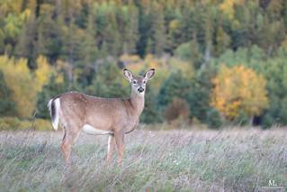 Cerf de Virginie - White tailed deer - Odocoileus virginianus