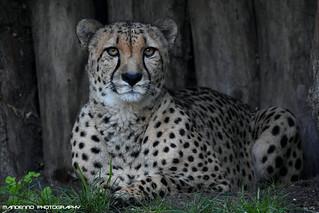 Cheetah - Allwetterzoo Munster