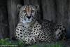 Cheetah - Allwetterzoo Munster (Mandenno photography) Tags: dierenpark dierentuin dieren duitsland animal animals ngc nature cheetah allwetterzoomunster allwetterzoo munster germany big cat bigcat