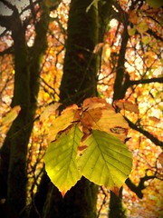 Au revoir Autumn 2017 🍁🍂 (staceygallagher2) Tags: light closeup photography green brown colourful scenic leaves leaf nature forest ireland autumn