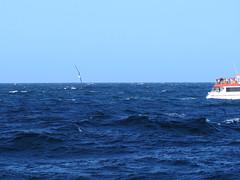 Whale watching sydney (Jellibat) Tags: whales humpback humpbackwhale sydney nsw newsouthwales boat tour whalewatchingsydney nature australia albatross yellownosedalbatross bird seabird shorttailedshearwater