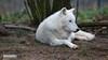 Arctic Wolf | Polarwolf (jensfechter) Tags: elements wolf polarwolf polar arctichochwildschutzpark rheinböllenrheinlandpfalz deutschlandrhinelandpalatinate germanyc2017 jens fechter