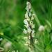 Bellevalia romana; Asparagaceae (1)