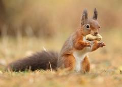 Red squirrel (bilska.anna) Tags: