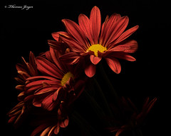 Pushing 1013 Copyrighted (Tjerger) Tags: nature beautiful beauty black blackbackground bloom blooms booming closeup fall flora floral flower flowers macro mum plant portrait red wisconsin yellow mums pushing natural