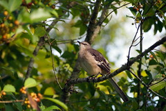 ...my old friend. (Jim Atkins Sr) Tags: bird northernmockingbird americanholly tree mimuspolyglottos ilexopaca fairfieldharbour northcarolina olympuspenepm2 olympus