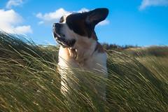 galli cadzand3 (cdandrifosse) Tags: galli saint bernard mer cadzand chien