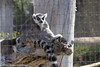 Lemurs watching the people go by-4855 (rob-the-org) Tags: exif:focallength=250mm exif:aperture=ƒ80 camera:make=canon exif:isospeed=100 camera:model=canoneos60d exif:model=canoneos60d exif:lens=18250mm geolocation exif:make=canon outofafrica campverdeaz lemurs f80 250mm 150sec iso100 cropped noflash topoctober2017