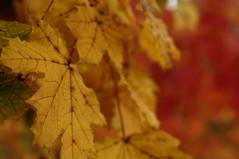 Maple Bokeh - Explored (FiddleHiker) Tags: hbw bokehwednesdays bokeh fallcolors fallfoliage autumn leaves leadinglines yellow orange red diagonal
