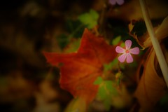 Herbst (FK Fotografie & Kunst) Tags: blätter florije florijekohler flower herbst fotografie photographieren mikro bunt blume art natur natürlichschön naturschutz bild kultur kunst flo