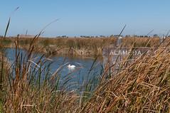 Alameda Creek Ponding Area (_quintin_) Tags: pelican coyotehills fremont california nature