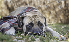 Bumba. (lexlikelily) Tags: dog fall autumn beautiful leaves mastiff englishmastiff