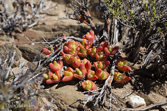 Gibbaeum gibbosum