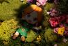 Ahhh!! (Pati's Nendoroid Photography) Tags: link younglink majorasmasklink majorasmask legendofzelda loz nendoroid ねんどろいど goodsmilecompany gsc nendoroidphotography nendography nendostory nendophotography toyphotography animefigure figurephotography nendophoto365