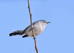 Blue-gray Gnatcatcher (Christopher Lindsey) Tags: 2017 october fall bluegraygnatcatcher birds birding crowbuttepark washington bentoncounty