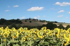 A place in the Sun (Thomas Schirmann) Tags: marciac gers tournesols sunflowers fleurs flowers champ field village colline hill