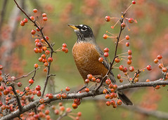 American Robin standing in a crabapple tree (Thomas Muir) Tags: turdusmigratorius songbird tommuir woodcounty ohio perrysburg bird female feeding migration fall tree nature nikon 200400mm food d800 midwest