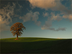 lonely tree  in the evening light (Ostseeleuchte) Tags: solitärimabendlicht solitaireintheeveninglight tree lonelytree einsamerbaum einzelkämpfer oktoberlicht octoberlight goldenlight eveninglight