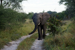 Elephants 1 (deepchi1) Tags: africa botswana safari wildlife game viewing gameviewing gametracking tracking biggame zoology okavangodelta delta grass elephants bigfive pachyderms trunk herd acaciatrees babyelephants baby