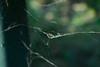 Spider Webs (a wild pack of dogs) Tags: digital d3300 spider webs web