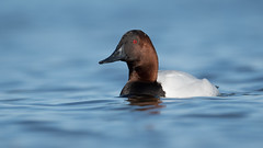 Canvasback Drake (nikunj.m.patel) Tags: ducks canvasback nature wild wildlife migration chesapeake maryland naure photography nikon