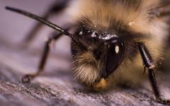 Bumblebee (Keztik) Tags: bumblebee bourdon insect insecte bug bumble bee macro nikon d3200 nature apidae bombus eyes eye oeil yeux poil hair yellow jaune noir black close