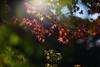 an autumn day (Shokosseite) Tags: tree autumn ahorn sunshine