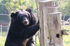 V061 Sampo 3Nov2017 (11) (Animals Asia) Tags: animalsasia vietnam vbrc vietnambearrescuecentre sampo moonbearmonday moonbear