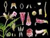 Gesneriaceae Hemiboea bicornuta (taiwanicus) Tags: 完全花 perfectflower 兩側對稱 zygomorphy 合辦花 gamopetalous 下位花 hypogynousflower 兩性花 bisexualflower 總苞 involucre 花萼 calyx 萼片 sepal 花盤 disk 花冠筒 corona tube 花冠裂片 corollalobe 雄蕊 stamen 花絲 filament 花藥 anther 縱裂 longitudinaldehiscence 退化雄蕊 staminodium 合生雄蕊 syndunamousstamens 聚藥雄蕊 synantherous 雌蕊 pistil 子房 ovary 花柱 style 柱頭 stigma 胚珠 ovule