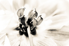 (C-47 [Offline]) Tags: mono monochrome mothernature imagination nature flowers flickr feel feelings fun flower focus fabulousflowers flora bw blackwhite blackandwhite noiretblanc noirblanc noir blanc white whiteness macro macrolife pov infraredbw infaredmonochrome closeup otherside