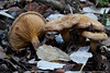 Paxillus rubicundulus (José Manuel, thanks for +450,000 views) Tags: paxillusrubicundulus lamitjana fong bolet hongo seta mushroom fungi tamron canon canon50d 90 tamron90