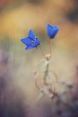 days passing by (christian mu) Tags: autumn schlossgarten 9028 90mm germany muenster münster botanicalgarden botanischergarten macro sonya7ii sony christianmu bokeh nature flowers 9028g