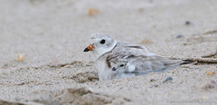 Piping Plover brooding (Explored 10/8/17) (Cameron Darnell) Tags: plover piping endangeredspecies endangered cute mother baby bird birds birding shorebird shore sand beach capecod cod cape massachusetts mass tamron canon cameron 2017 avian brood brooding parent