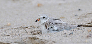 Piping Plover brooding (Explored 10/8/17)