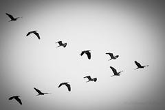 Flying! (Mohammed Qamheya) Tags: d500 nikon tamron bw blackwhite flying heron qatar north 70200f28 7dwf fauna sunday
