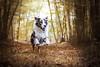IMG_4311 (marine.benchao) Tags: dog berger australien wood leeroy sheperd bleu merle