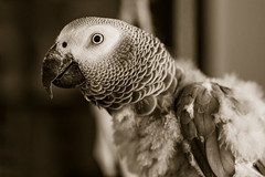 Dorothy got rescued, now she's growing her plumage back. (Owen Llewellyn) Tags: canon owenllewellyn cygnusimaging parrot parakeet african grey gray bird rescued plumage feathers split tone mono black white eos1dx eos 1dx