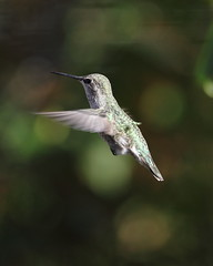 Anna's hummingbird, Calypte anna (jlcummins - Washington State) Tags: bird hummingbird annashummingbird yakimacounty washingtonstate calypteanna